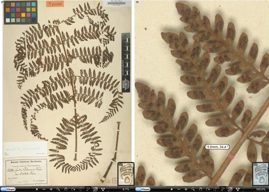 Alsophila appendiculata R.M. Tryon