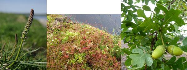 Triglochin maritima Drosera rotundifolia Quercus robur