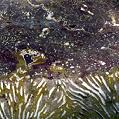 Korallenplatte